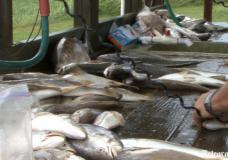 Louisiana locals continue to fish despite oil contamination risk